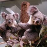 z08_Koala03