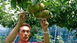 神奈川で梨狩り♪おすすめ農園9選!時期&品種紹介