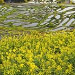 子供と行こう!三重県の菜の花の名所 BEST5♪